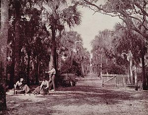 English: A Palmetto Glade Near Palatka, Florida.