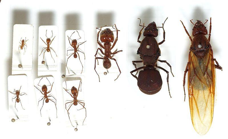 File:Atta.cephalotes.gamut.selection.jpg