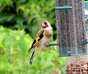 A European Goldfinch on a garden bird feeder i...