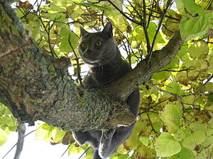 Curious Chartreux cat on tree looking downwards.