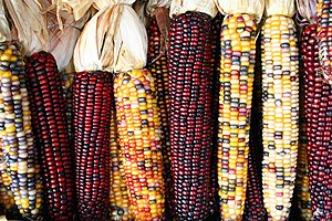 English: Cobs of corn