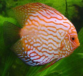 Diskus fish.jpg