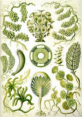 Haeckel Siphoneae.jpg