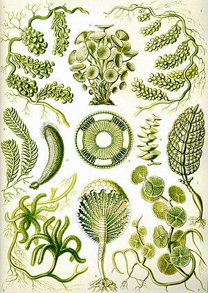 Green algae from Ernst Haeckel's Kunstformen d...