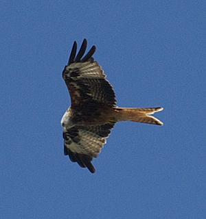 English: Red Kite flying over Berkshire in Aug...