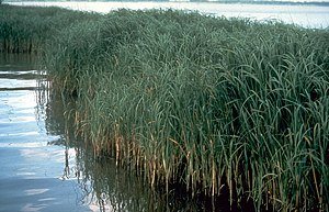 A clump of Spartina alterniflora