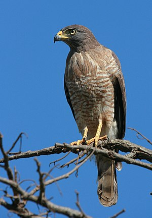 A Roadside Hawk (Buteo magnirostris) perched i...