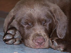 Chocolate_Lab_Puppy_Asleep
