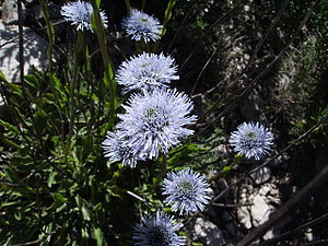 Globularia vulgaris in the wild Castelltallat ...