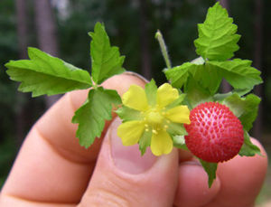 Mock Strawberry (also Indian Strawberry) image...