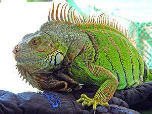 Español: Iguana verde adulta