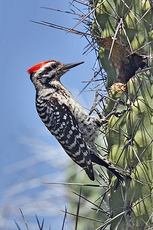 English: Ladder-Backed Woodpecker (Picoides sc...
