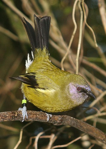 Male Bellbird, Zealandia wildlife sanctuary. W...