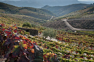 A view of the vineyards and rocky soil of the ...