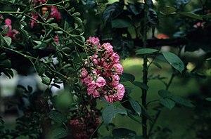 English: Roses