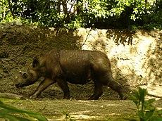 Rapunzel, seekor badak Sumatera di kebun binatang Bronxa