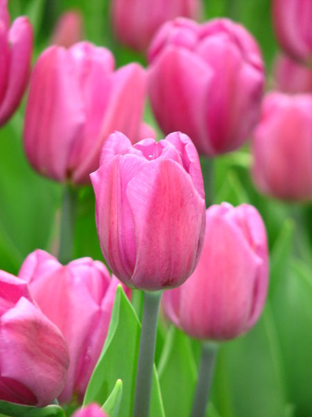 File:Tulip cv. 26.JPG