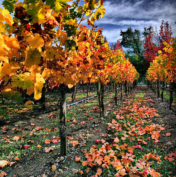 Vineyard, Napa Valley. Photo by Mila Zinkova, through Wikimedia.
