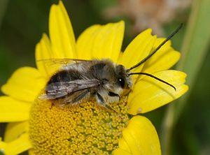 Bee resting on a flower (Eucera cf. longicornis)