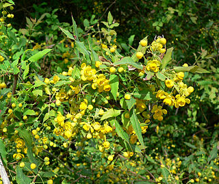 Mahonia Wikimili The Best Wikipedia Reader