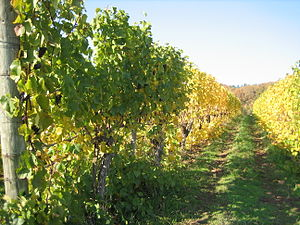 A view of the vineyard in the Oregon Willamett...