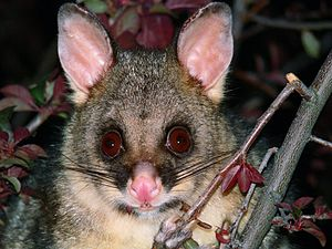 The common Brush tailed possum Trichosurus vul...