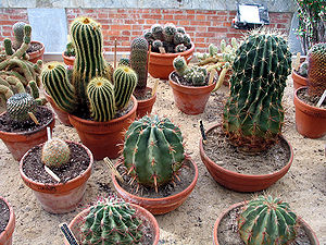 A few types of cactus, from the Jardin Massey,...