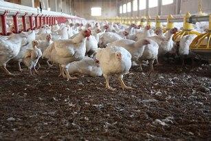 Chicken Farm 034
