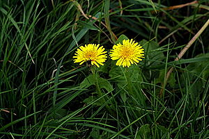English: Two dandelions side-by-side in some g...