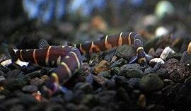 Ikan lumpur-2.jpg