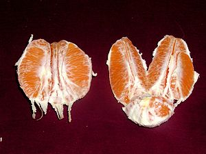 Sectioned navel orange taken Jan. 25, 2005 by ...