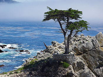 Lone cypress at 17-mile drive, Pebble Beach, C...