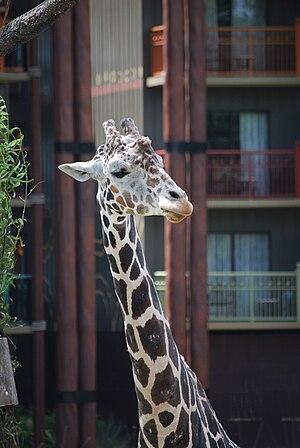 Giraffe at Disney's Animal Kingdom Lodge