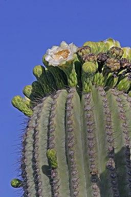 Sahuaro in bloom 2