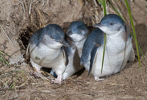 Little Penguin (Eudyptula minor) family exitin...
