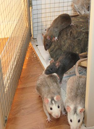 English: Four young pet rats.