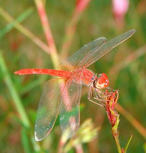 A red dragonfly (Odonata) in a pond in Sydney,...