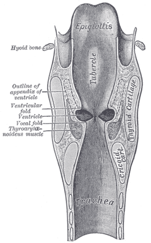 Coronal section of larynx and upper part of tr...