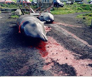 English: Whaling in the Faroe Islands Northern...