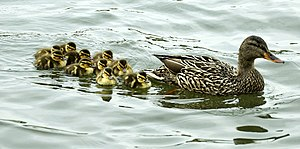 Cruising the pond... 10 ducklings w/Mom Duck