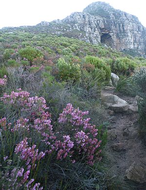 English: Ericoid fynbos growing on path to Oli...