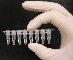 Photo of a strip of PCR tubes, each tube conta...