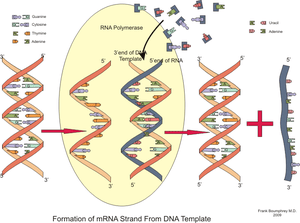 Formation of an RNA strand from a DNA template
