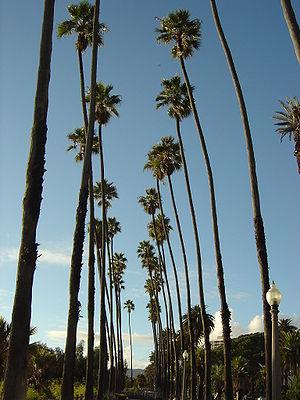 Washingtonia robusta trees line Ocean Avenue i...