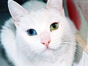 English: Heterochromia: Female cat with eyes o...