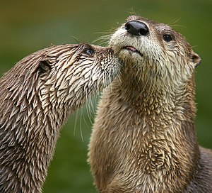 North American River Otters, Lontra canadensis...
