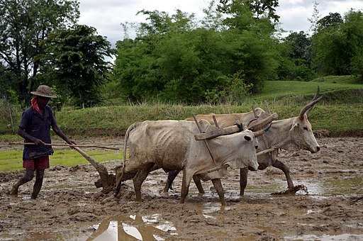 Ploughing a paddy field with oxen, Umaria district, MP, India