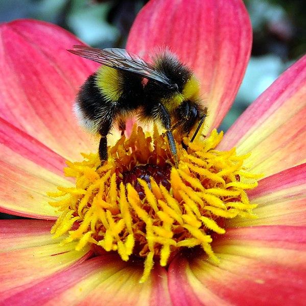 Bi pollinerar blomma