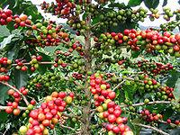 A mediados del siglo XIX, el café sustituyó al añil como base de la economia nacional.