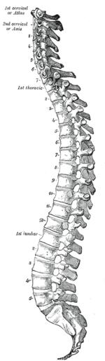 La colonna vertebrale vista di lato